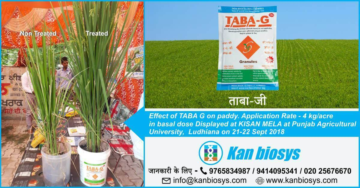 Effect of TABA G on paddy